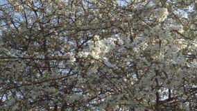 Árvore de fruto de florescência vídeos de arquivo