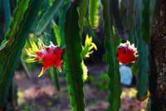 árvore de fruto vermelha do dragão no jardim Foto de Stock