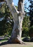 Árvore de goma Imagens de Stock Royalty Free