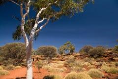 Árvore de goma Fotografia de Stock Royalty Free