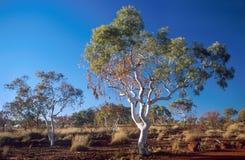 Árvore de goma Imagens de Stock
