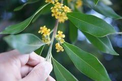 Árvore de goma da água, Kanooka, laurina de Tristanopsis Imagens de Stock Royalty Free