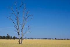 Árvore de goma do eucalipto no prado de feno perto de Parkes, Novo Gales do Sul, Austrália Imagens de Stock Royalty Free