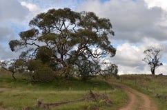 Árvore de goma do homem idoso Foto de Stock