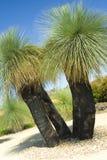 Árvore de grama australiana - Xanthorrhoea Fotos de Stock