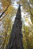 Árvore de hicória no arboreto, Ann Arbor, Michigan EUA imagem de stock royalty free