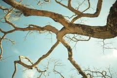 Árvore de Ipiabas Imagens de Stock