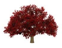Árvore de ironwood persa isolada no branco Foto de Stock