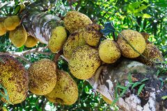 Árvore de Jackfruit foto de stock