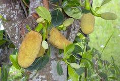 A árvore de jackfruit e sua folha na natureza, Tailândia Fotografia de Stock