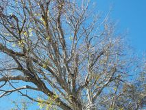 Árvore de janeiro com o céu azul brilhante Foto de Stock