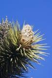 Árvore de Joshua Imagens de Stock Royalty Free