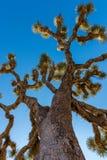 Árvore de Joshua Fotos de Stock Royalty Free