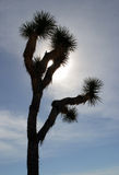 Árvore de Joshua Imagem de Stock