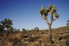 Árvore de Joshua Fotos de Stock