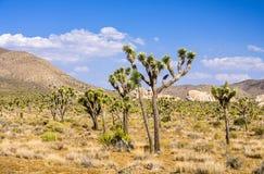 Árvore de Joshua com as rochas no parque nacional de árvore de Joshua Imagem de Stock