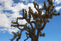 Árvore de Joshua contra o céu fotografia de stock