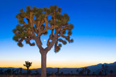 Árvore de Joshua e a lua nova Imagens de Stock