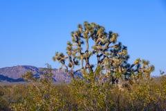 Árvore de Joshua na luz brilhante morna Fotos de Stock Royalty Free