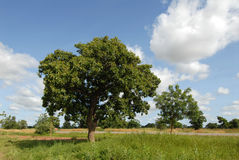 Árvore de Karitè Imagem de Stock