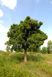 Árvore de Karitè Imagens de Stock Royalty Free