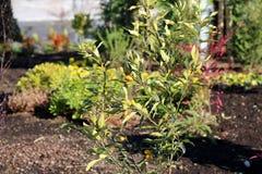 Árvore de Kumquat Fotografia de Stock Royalty Free