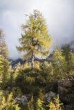 Árvore de larício Foto de Stock Royalty Free