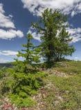 Árvore de larício nas montanhas de Ural Fotos de Stock Royalty Free