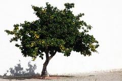 Árvore de laranjas Fotografia de Stock