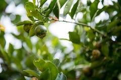 Árvore de limão fotografia de stock