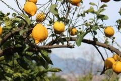 Árvore de limão Fotos de Stock Royalty Free