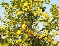 Árvore de limão Imagens de Stock Royalty Free