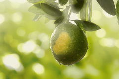 Árvore de limão Foto de Stock