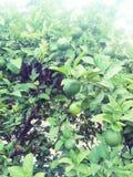 Árvore de limão imagem de stock