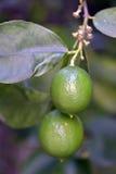 Árvore de limão com frutos Fotos de Stock Royalty Free