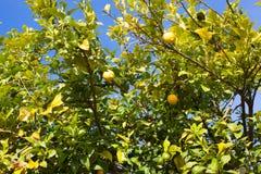 Árvore de limão com os limões verdes e amarelos asturias imagens de stock royalty free