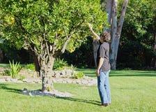 Árvore de limão do homem Fotos de Stock
