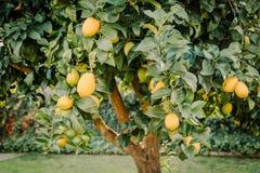Árvore de limão do quintal completamente de citrinos saudáveis imagem de stock royalty free