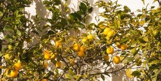 Árvore de limão em uma parede branca Fotos de Stock Royalty Free