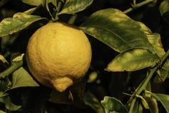 Árvore de limão, muito consideravelmente Fotos de Stock Royalty Free