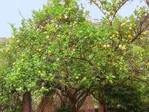 Árvore de limão na luz do sol brilhante Fotos de Stock Royalty Free