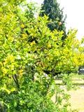 Árvore de limão situada no cemitério do bosque do carvalho imagens de stock