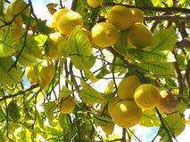 Árvore de limão verde Imagem de Stock
