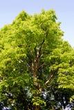 Árvore de Linden Fotos de Stock