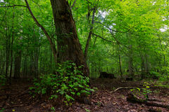 Árvore de Linden quebrada ainda viva Fotos de Stock