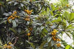 Árvore de Loquat Fotografia de Stock Royalty Free