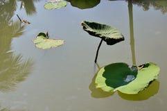 Árvore de Lotus na lagoa Imagem de Stock