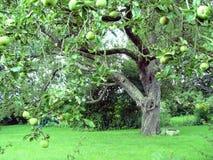 árvore de maçã imagem de stock