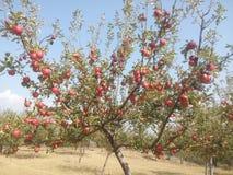 Árvore de maçã bonita Fotografia de Stock