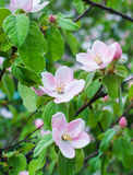 A árvore de maçã bonita floresce o close up Imagens de Stock Royalty Free